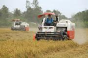 Giá lúa gạo tăng đột biến, thương lái tới tận ruộng đặt cọc