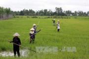 Đồng bằng sông Cửu Long sẽ xuống giống hơn 800.000 ha lúa Thu Đông